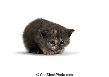 Cat - Grey Kitten