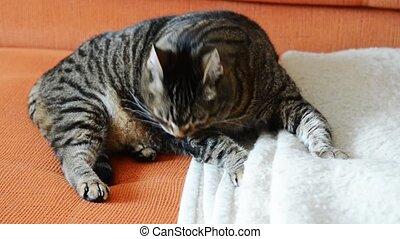 Cat grooming - Grey fat cat grooming licking his fur