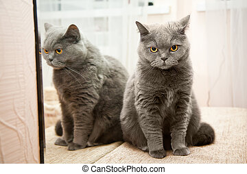 Cat in a mirror - grey brittish cat with orange eyes and its...