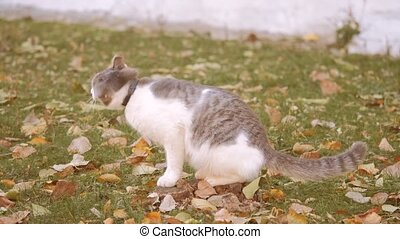 cat in Autumn Leaves. Cute cat sniffing on yellow autumn fallen leaves. cat walking on outdoor the street concept lifestyle