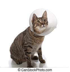Tabby cat in a cone isolated on a white background