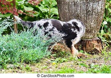 cat in garden, photo as a background , australian german shepard sheperd dog