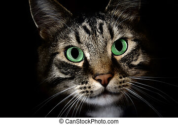 Cat in the darkness - A young Maine Coon pet cat staring at...