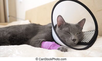 cat in the veterinary collar falls asleep on the bed close-up.