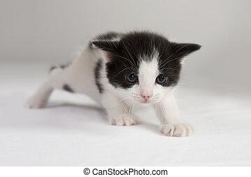 Cat - Kitten Crawling