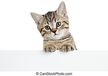 cat kitten peeking out of a blank banner, isolated on white background
