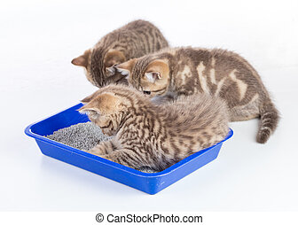 cat kittens in toilet tray box with litter isolated