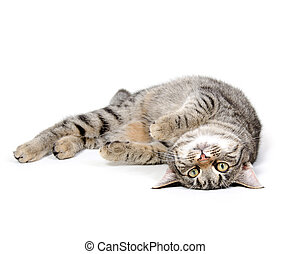 Cat laying down - Cute pet tabby cat laying down on white ...