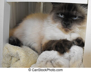 Cat Laying on Towels - This purebred Himalayan cat glares at...