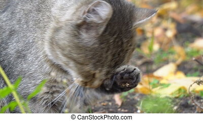 Cat licks paw and washes - Grey cat licks paw and washes