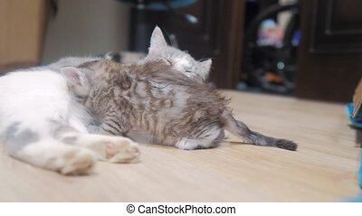 cat licks tabby scottish kitten cute video mom. cat family...