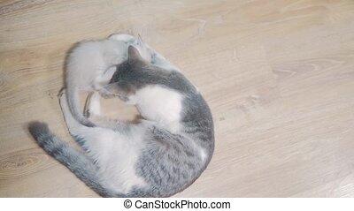 cat licks tabby scottish kitten cute video mom lick washes a...