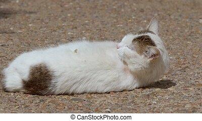 cat licks wool slow motion video - white cat licks wool...