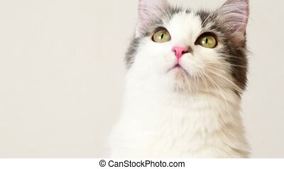 Cat look around follow something, closeup at white background