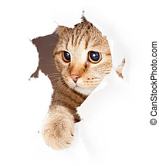 cat looking in paper side torn hole isolated - cat looking...