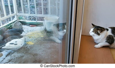 Cat looking out the window at birds pecking millet on the...