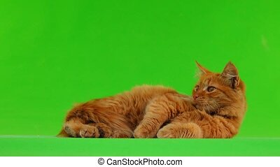 cat looks to the left and then to the right isolated on...