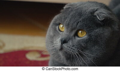 cat lop-eared Briton with an important gray color