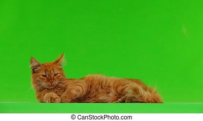 cat lying and purring on green screen