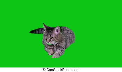 Cat lying on green-screen