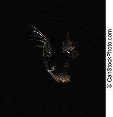 cat magic - Siamese cat partial face closeup on black