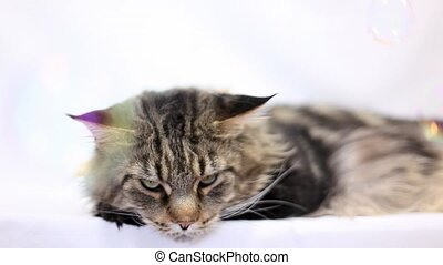 Cat maine coon and soap bubbles on the white background