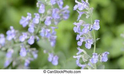 Cat mint flowers - Purple cat mint flowers in front of...