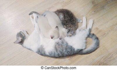cat mom feeds three cute kittens . little cute kitten...