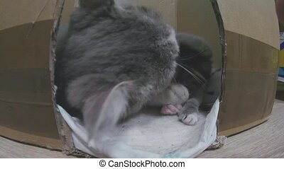 cat mom is played with small kittens in a cardboard box lifestyle. pet funny kitten concept