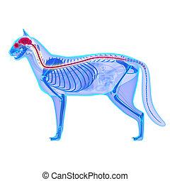 Cat Nervous System - Felis Catus Anatomy - isolated on white