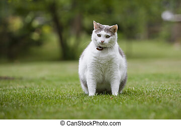 Cat Obese