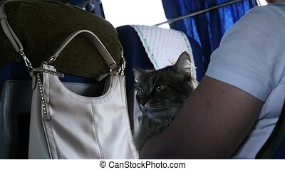 cat on a hands of the hostess in a bus. transportation of a...