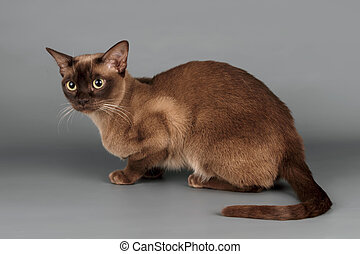 Cat on grey background