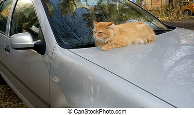 Cat on the car's hood - Red-headed cat lying on the hood of...