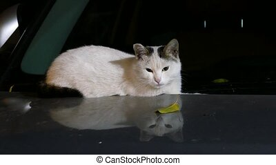 Cat on the hood - White Cat sitting on the cars hood at...