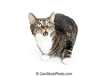 Cat on White With Startled Expression