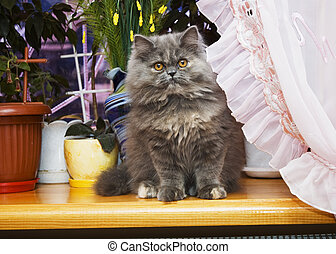 Cat Persian - A Persian cat sin on the window-still