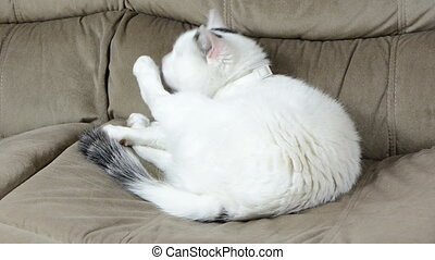 cat pet wash paw - White spotted cat sit on couch sofa and...