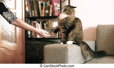 cat plays with a woman's hand. - cat plays with a woman's...