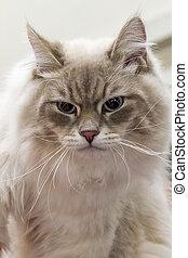 cat portrait Portrait of a gray cat.