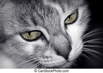 Cat portrait - Portrait of an angry cat , black and white ...