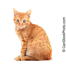 Cat - Red cute cat on a white background