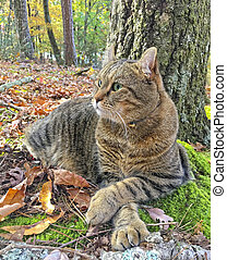 Cat Relaxing in the Woods - A beautiful Highland Lynx cat ...