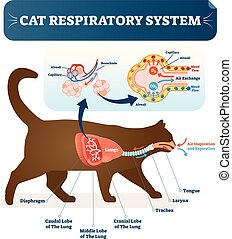 Cat respiratory system, vet anatomy vector illustration...