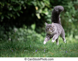 cat running jumping over lawn