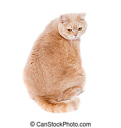 cat scottish straight cream - colored. A fat cat with red...