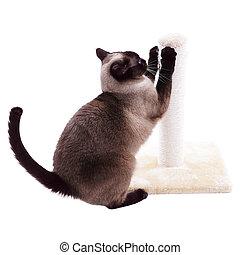 siamese cat with scratcher