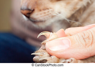 Cat shows claw - Men helps to show cat claw before clipping...