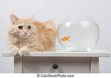 Cat sits near the aquarium with goldfish