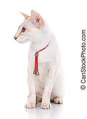 cat sitting on white background with red collar, isolated